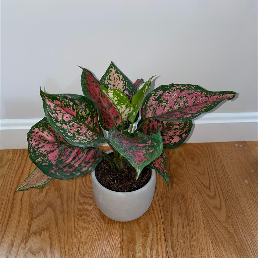 Aglaonema 'Pink Splash' plant