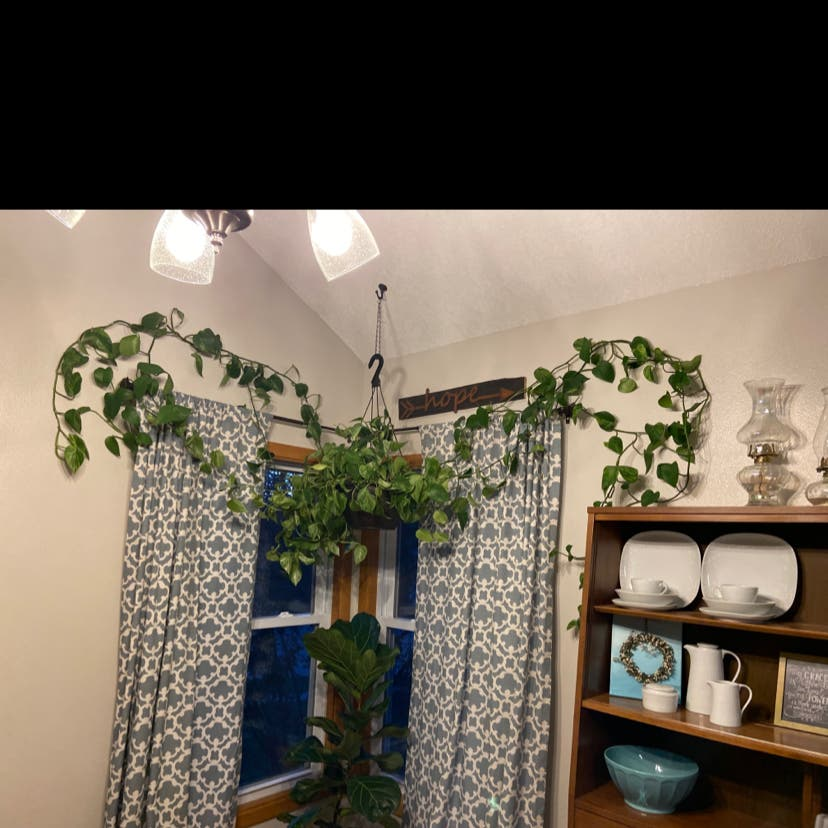 Photo of the plant species Marble Queen Pothos by Thesleepyninja named Molly on Greg, the plant care app