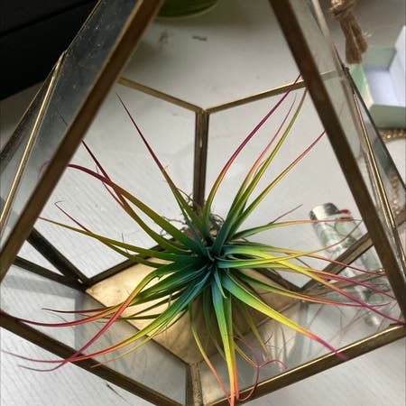 Photo of the plant species Tillandsia erubescens by Noelanigiselle named Bow 🌈 on Greg, the plant care app