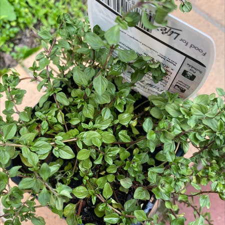 Photo of the plant species Pizza Thyme by Angelyn named Thyme Pizza on Greg, the plant care app