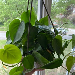 Rating of the plant Heartleaf philodendron named Soul by Kaleena on Greg, the plant care app