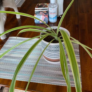 Rating of the plant Spider Plant named McCormick by Kaleena on Greg, the plant care app