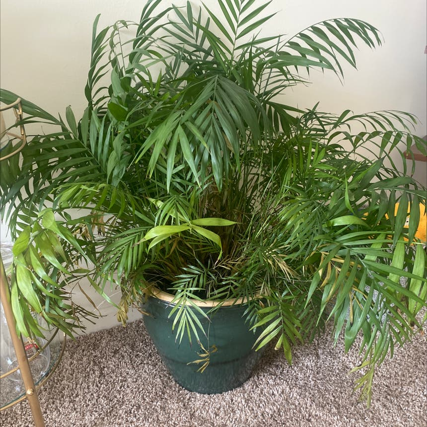 Parlour Palm plant in Somewhere on Earth