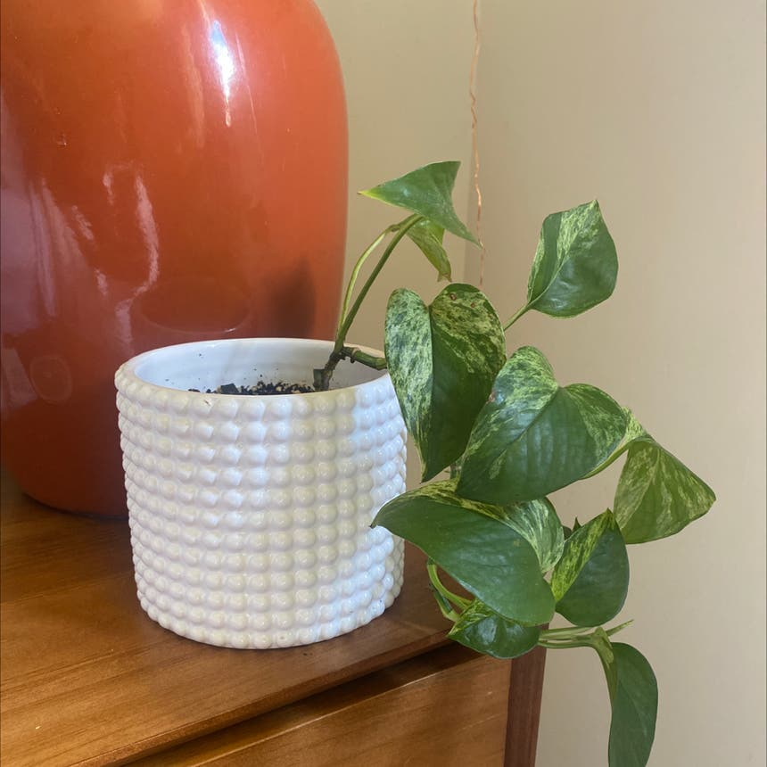 Golden Pothos plant in Somewhere on Earth