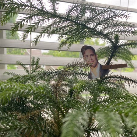 Photo of the plant species Araucaria Heterophylla by Kelly named chris pine on Greg, the plant care app