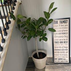 Audrey Ficus plant