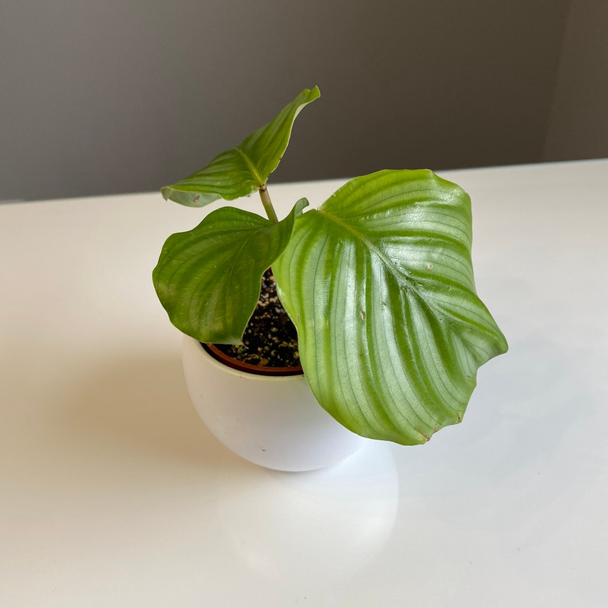 Round-leaf Calathea plant in Somewhere on Earth