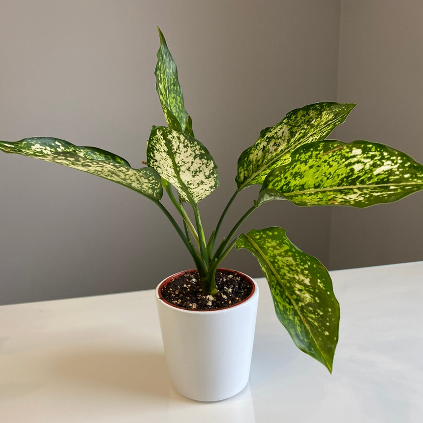 Chinese Evergreen plant in Somewhere on Earth