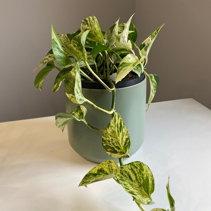 Marble Queen Pothos plant in Somewhere on Earth