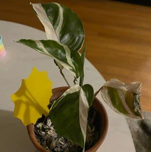Calathea 'White Fusion' plant photo by Tastydonuts named Oscar on Greg, the plant care app.