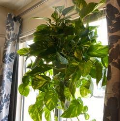 Hawaiian Pothos plant