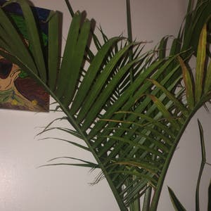 Rating of the plant Majesty Palm named Fernnie by N.atalyndonaghy on Greg, the plant care app