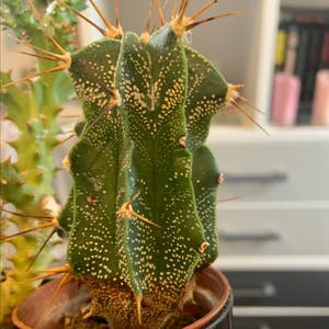Monk's Hood Cactus plant photo by Hannah named Gobi on Greg, the plant care app.