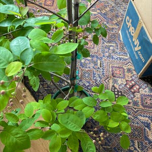 Cusick's serviceberry plant photo by Kporetto named Berry on Greg, the plant care app.