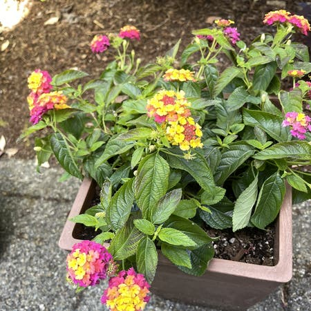 Photo of the plant species Lantana Montevidensis by Karabeast named Lilibet on Greg, the plant care app