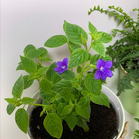 Photo of the plant species Philippine violet by Babyplantgirl named Endless illumination on Greg, the plant care app