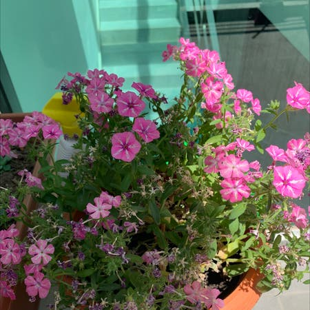 Photo of the plant species phlox by Ntl.rbls named Luta on Greg, the plant care app