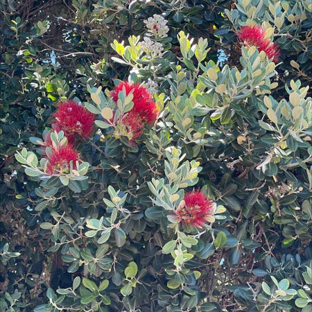 Photo of the plant species Metrosideros Excelsa by Krzysztof named Your plant on Greg, the plant care app