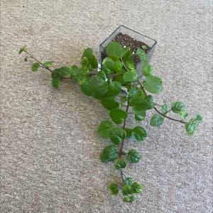 Swedish Ivy plant photo by Mackgamb named ole faithful on Greg, the plant care app.