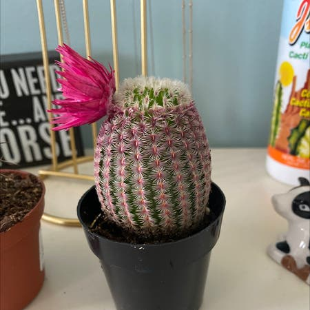 Photo of the plant species Weniger's hedgehog cactus by Maddie and cj named priscilla on Greg, the plant care app