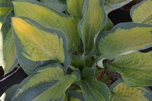 Hosta undulata plant photo by Tiobri named Lola on Greg, the plant care app.