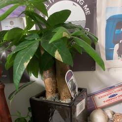 Money Tree plant