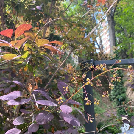 Photo of the plant species European Smoketree by Bellau named Your plant on Greg, the plant care app