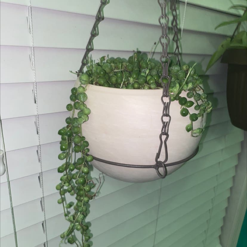 String of Pearls plant in Myerstown, Pennsylvania