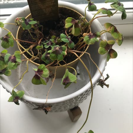 Photo of the plant species Iron cross by Madelinemulligan named dotty on Greg, the plant care app