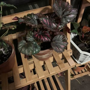 Rex Begonia plant photo by Mocena named Reddie on Greg, the plant care app.