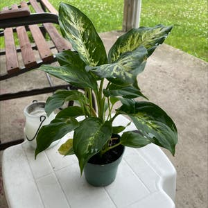 Rating of the plant Dieffenbachia named Ophelia by Claudswow on Greg, the plant care app