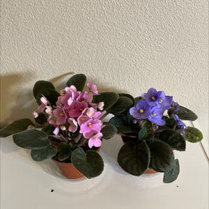 Rating of the plant African Violet named Liv & Maddie by Agirlandherplants on Greg, the plant care app