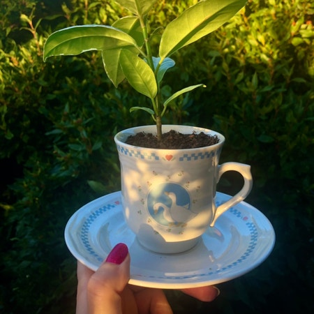 Photo of the plant species Ficus Elastica Decora by Mcicchelli named Mr Quackles on Greg, the plant care app
