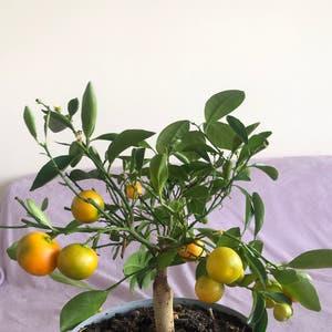 Calamondin plant photo by Aqua_miss named Citrinukas 💗 on Greg, the plant care app.