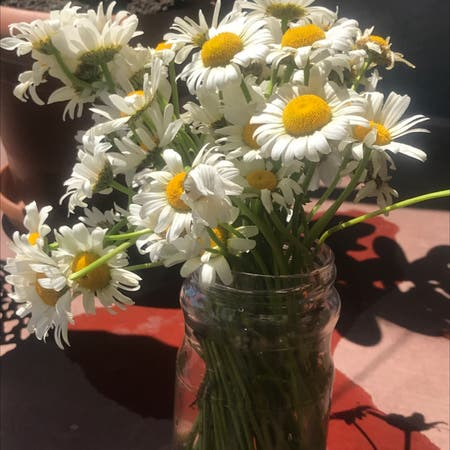 Photo of the plant species German chamomile by Liza named Delilah on Greg, the plant care app