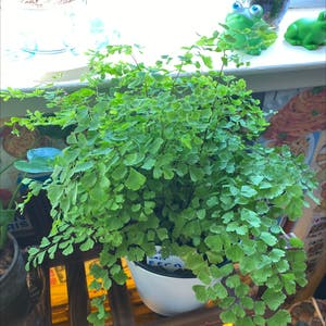 Maidenhair fern plant photo by Jaedi_06 named Maddy on Greg, the plant care app.