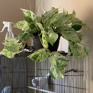 Rating of the plant Marble Queen Pothos named Queen by Kayhanawoods on Greg, the plant care app