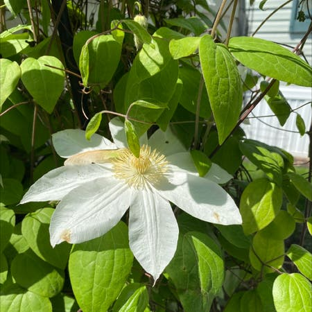 Photo of the plant species Clematis columbiana by Joe named White on Greg, the plant care app