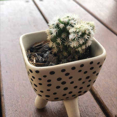 Photo of the plant species Thimble Cactus by Jess.dally named margret on Greg, the plant care app