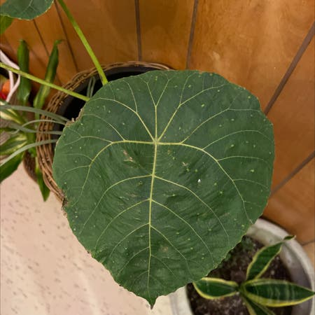 Photo of the plant species Nasturtium Tree by Jaymielove named Sol on Greg, the plant care app