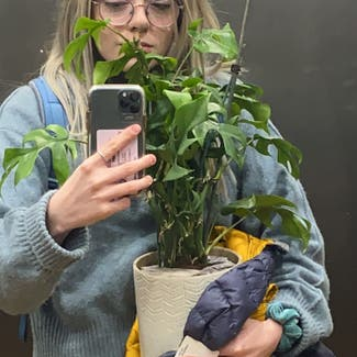 Monstera plant in Guildford, England