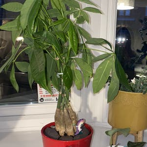 Rating of the plant Money Tree named Penny by Hayleywren on Greg, the plant care app
