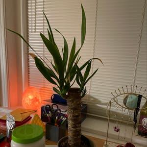 Blue-Stem Yucca plant photo by Natalieczarra named Pamela on Greg, the plant care app.