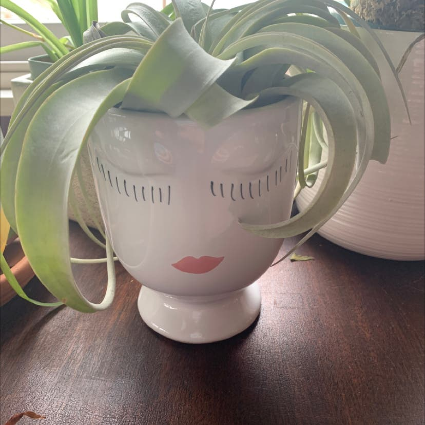 Shirley Temple Air Plant plant in North Salem, New York