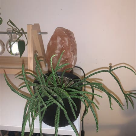 Photo of the plant species Coral Cactus by Classic.hummus named Spidey on Greg, the plant care app