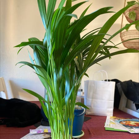 Photo of the plant species Areca Palm by Kaylie named Foxxy on Greg, the plant care app