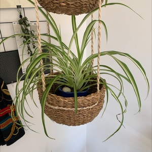 Rating of the plant Spider Plant named Anansi by Unofficialsheehan on Greg, the plant care app