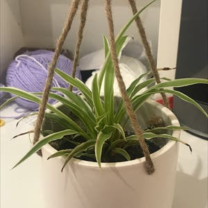Reverse Variegated Spider Plant plant photo by Wenborri named Brick on Greg, the plant care app.