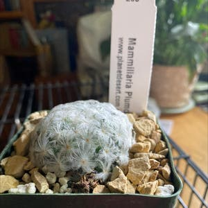 Silver Cluster Cactus plant photo by Silvia named Mammillaria Plumosa on Greg, the plant care app.