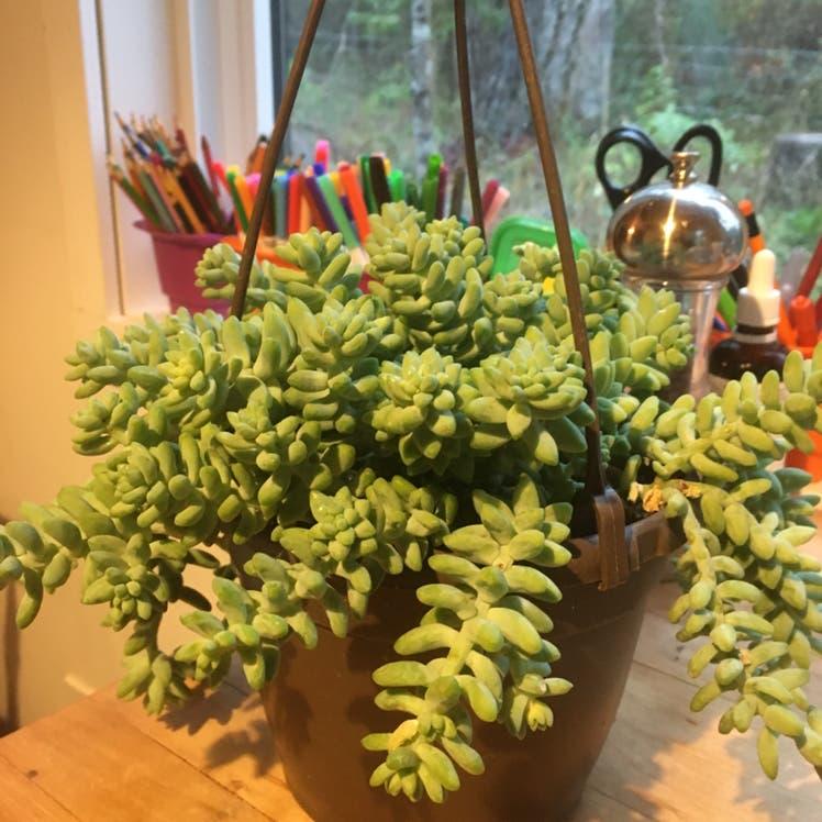 Burro's Tail plant